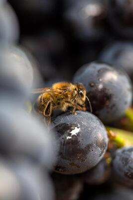 A bee on a grape
