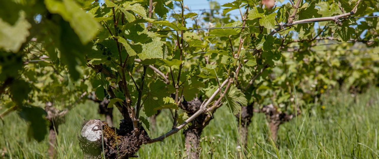 Prairie de vignes